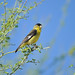Lesser Goldfinch - Photo (c) JanetandPhil, some rights reserved (CC BY-NC-ND)
