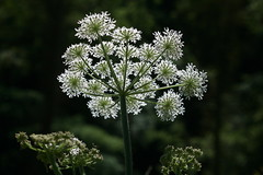 flower, cow parsley, cicely, plant, anthriscus, flora, angelica, meadowsweet,