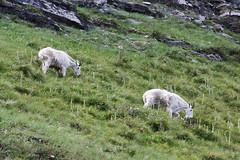 animal, mountain, tundra, mammal, goats, herd, grazing, domestic goat, fauna, mountain goat, meadow, pasture, grassland, wildlife,