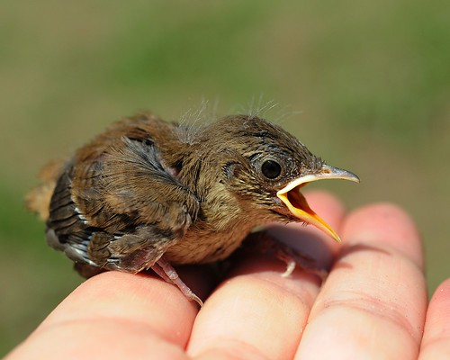 Humans DO Stupid Things sometimes! (awww... Baby House Wren)