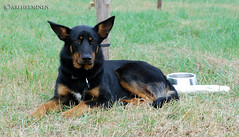 german shepherd dog(0.0), puppy(0.0), jagdterrier(0.0), bohemian shepherd(0.0), terrier(0.0), dog breed(1.0), animal(1.0), australian kelpie(1.0), dog(1.0), pet(1.0), lancashire heeler(1.0), vulnerable native breeds(1.0), carnivoran(1.0),