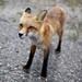 Fox by qousqous