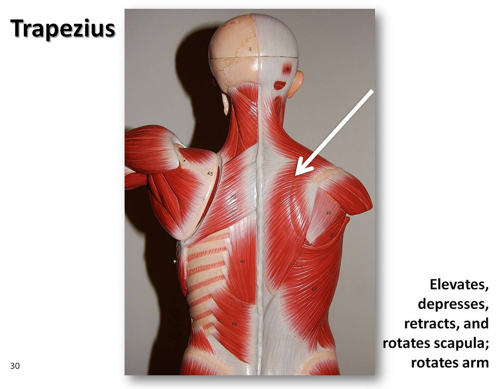 Trapezius Posterior View Muscles Of The Upper Extremity Visual