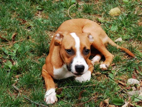 Boxer pitbull mix for Shar pei puppies for sale craigslist