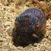 Small photo of Bobtail Cuttlefish - Euprymna berryi
