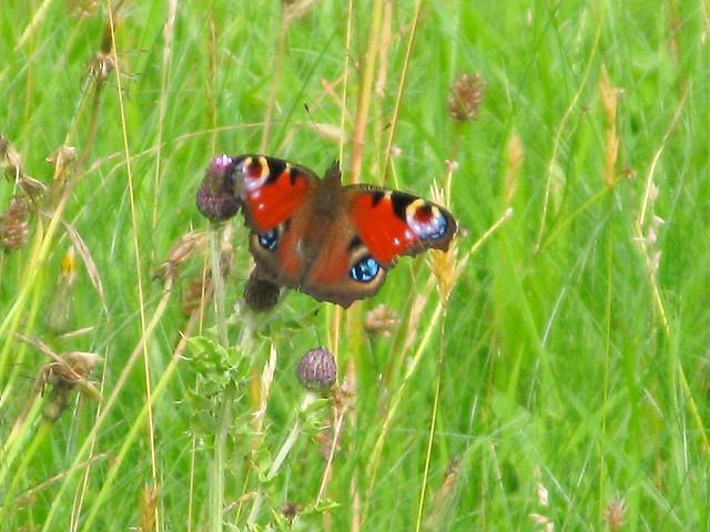 peacock butterfly | Emma Lamb