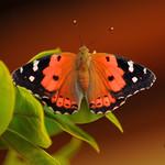 Kamehameha Butterfly (Vanessa tamehameha)