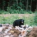 Bears...in their natural habitat...eating your garbage.