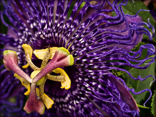 insect flora purple ant passionflower otherworldly