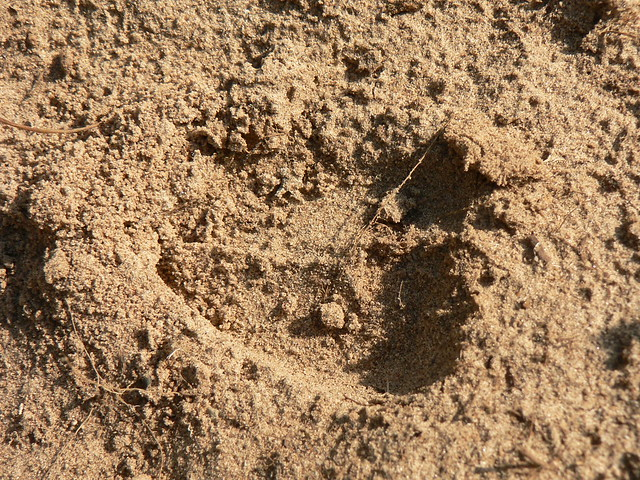 Deer track in sandy soil 2 flickr photo sharing for Things found in soil