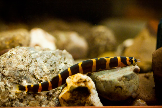 Coolie loach Flickr - Photo Sharing!