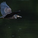 Juvenile Yellow-crowned night Heron by rob.wallace