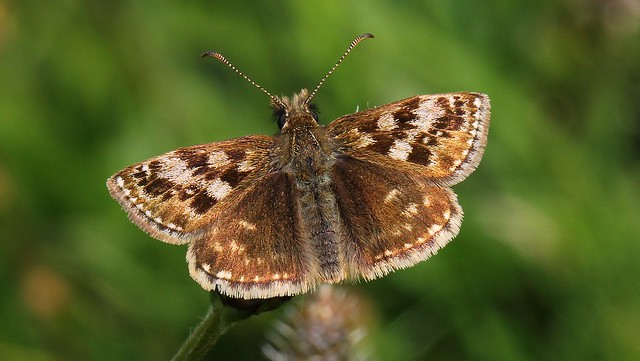 Dingy Skipper - Erynnis tages 220517 (2)