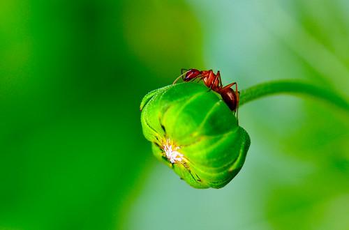 flower macro bug insect newjersey nikon brian ant nj sunflower audubon redant kushner 105mm sunflowerbud nikon105mmf28gedifafsvr d5000 macrolife bkushner ©brianekushner nikond5000