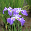 Photo:Japanese water iris / Iris ensata var. ensata / 花菖蒲(ハナショウブ) By TANAKA Juuyoh (田中十洋)