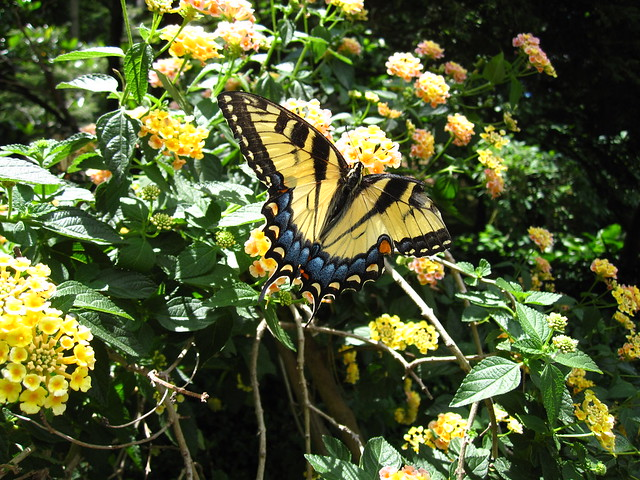 A beautiful but broken-winged swallowtail butterfly flits around Lantanta camara 'robpathon' in the Fragrance Garden. Photo by Rebecca Bullene.