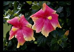 Hibiscus Pink-Cream-2=