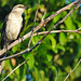 Mexico-7281 - Mockingbird