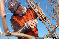 Steve Lubiana pruning at Granton Vineyard Tasmania 2010