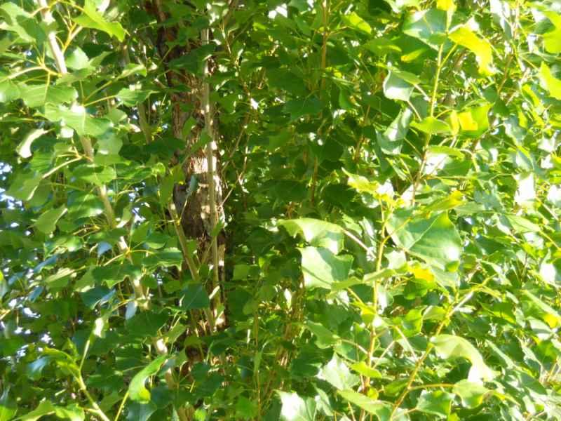 Populus nigra 'Italica'.. tronco 3