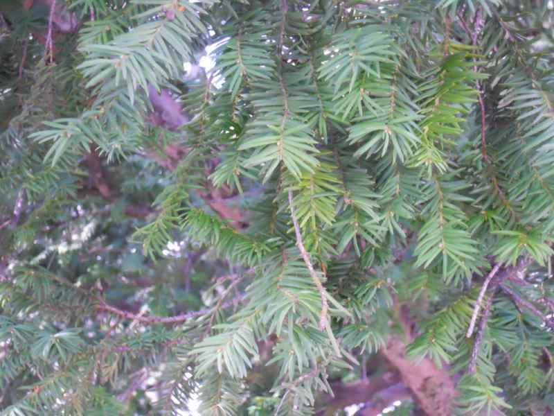 Taxus baccata hojas 2
