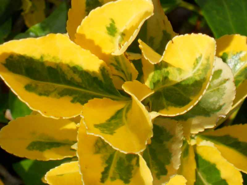 Euonymus japonicus 'Aurea' hoja 2