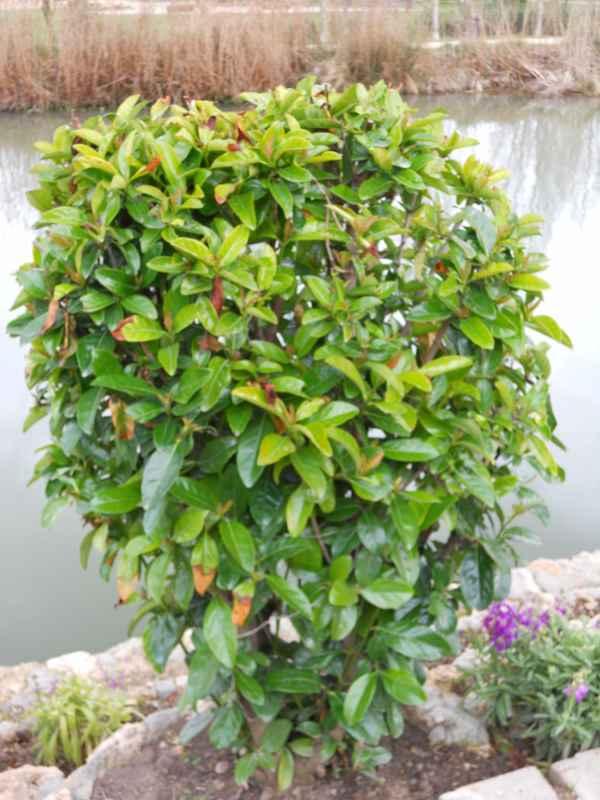 Prunus laurocerasus v 3