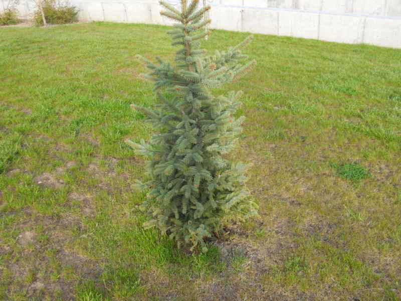 Picea pungens 2