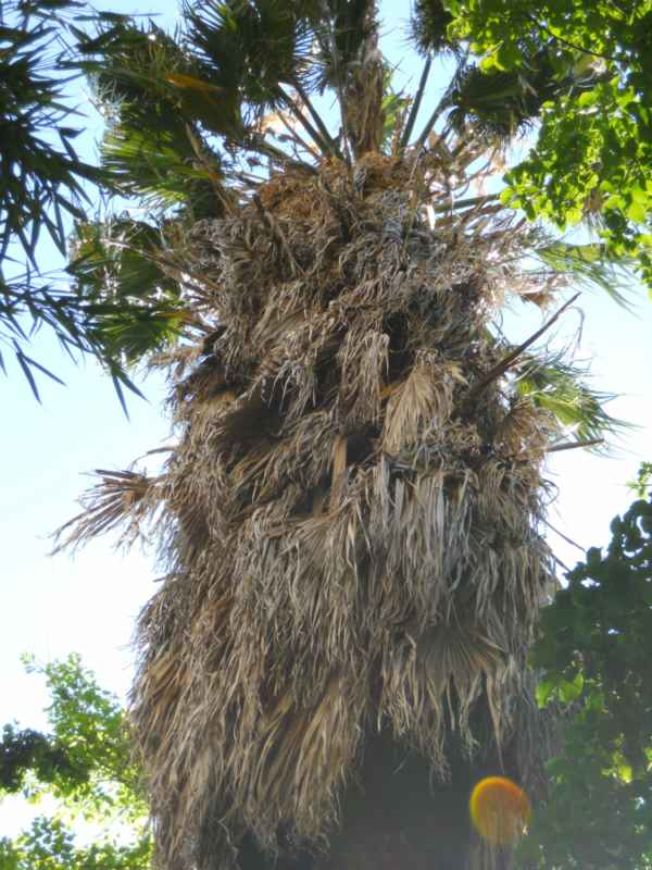 Washingtonia robusta v 1
