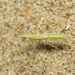 nagy szúnyogpoloska - Neides tipularius