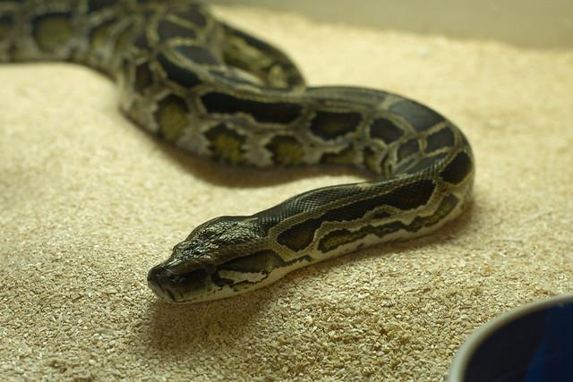 Burmese Python 1