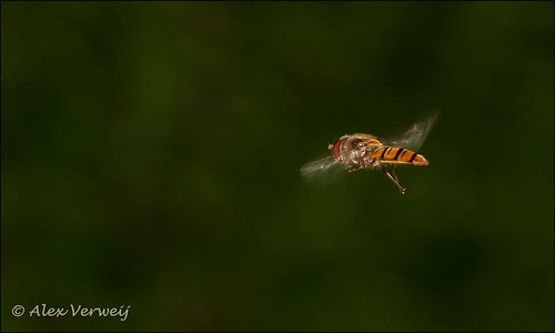 Hoverfly in action...