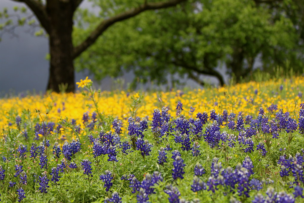 Flowers In Bloom Spring In Texas Hill Country In Lyndon B Flickr