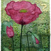 Opium Poppy by Kirsten Chursinoff