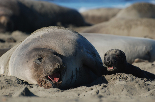 Mama & Baby Elephant Seal Talk | Flickr - Photo Sharing!