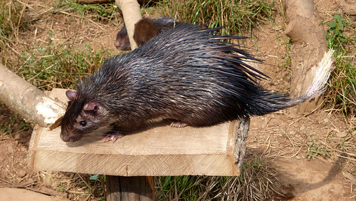 Brush-tailed porcupine