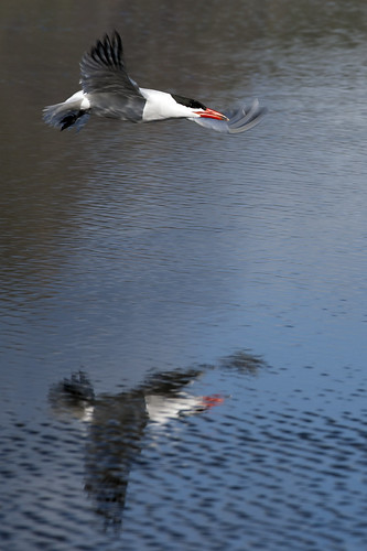 ocean sea newzealand seascape bird beach water birds island flying inflight sand pair north aves auckland nz caspian tasman tern avian bethells bethellsbeach terns sterna caspia taranui herowinner falconbirdsinflight
