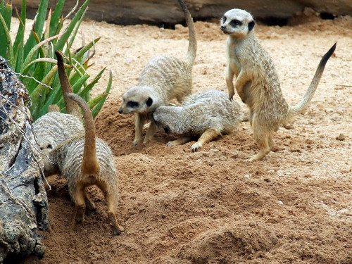 Meerkats at work by smallfox2