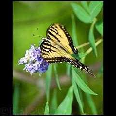 EasternTigerSwallowtail02