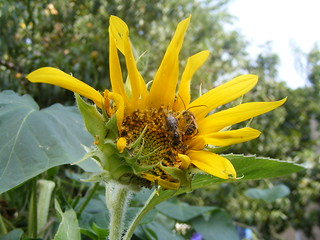 beesandsunflower
