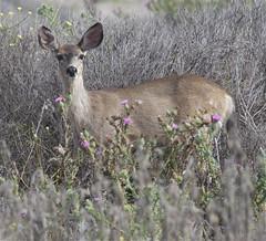 Mule Deer  (Odocoileus heminous)