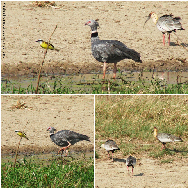 Chaja / Southern Screamer  Bandurria Baya / Buff-Necked Ibis  Pitogue / Great Kiskadee
