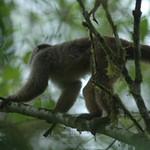 """Monos Capuchinos soltados en la selva virgen de la Reserva Buenaventura de la Fundación """"Jocotoco"""" de Piñas"""
