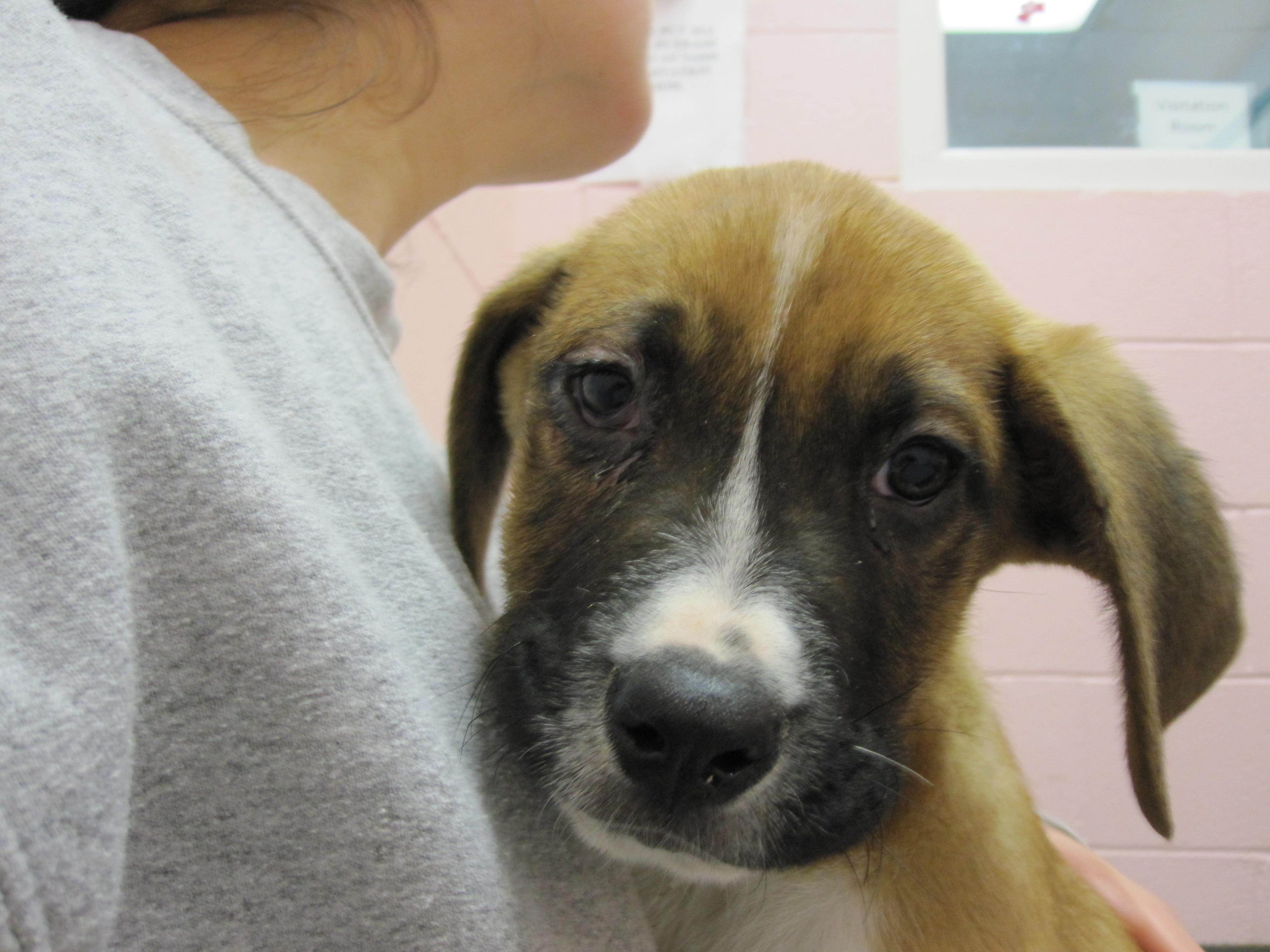Boxer Lab Mix Puppies Lab/boxer mix puppy