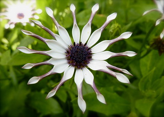 Introducing Miss. Osteospermum