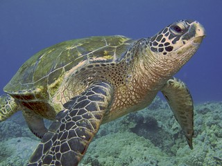 Sea Turtle, Honokahau, Kona, Hawaii.