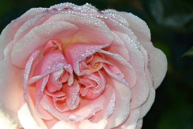 DSC_0271 - jewel encrusted rose