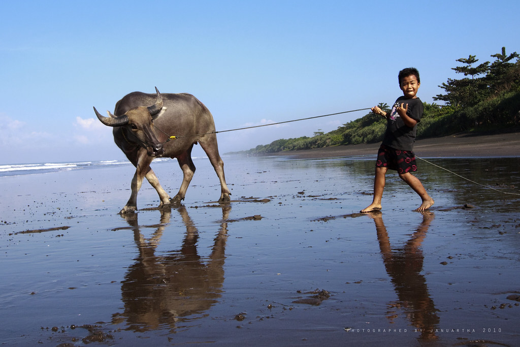 Balinese Kid having fun playing with his buffalo at Delod Berawah, Jembrana, Bali