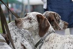 american foxhound(0.0), setter(0.0), braque d'auvergne(0.0), louisiana catahoula leopard dog(1.0), animal(1.0), dog(1.0), pet(1.0), mammal(1.0), braque francais(1.0), brittany(1.0), pointer(1.0), english coonhound(1.0), german shorthaired pointer(1.0),