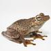 Rosenberg's Gladiator Treefrog - Photo (c) Brian Gratwicke, some rights reserved (CC BY)